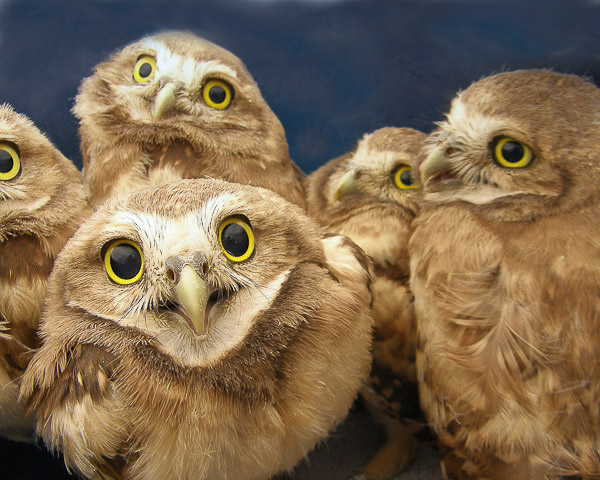 Juvenile_Burrowing_Owls
