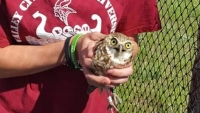 This wild female burrowing owl was found trying to dig and headbutt its way into the enclosure of a captive male near Melita, Man., on Sunday. (Manitoba Burrowing Owl Recovery Program/Facebook)