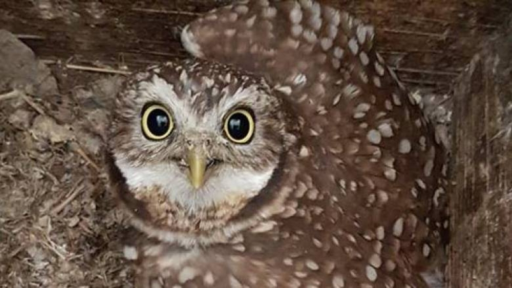 Juvenile Burrowing Owl