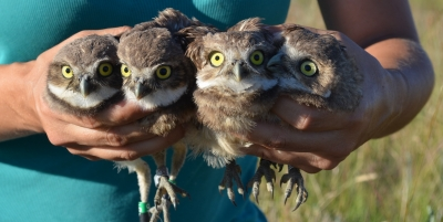 Burrowing Owl Events