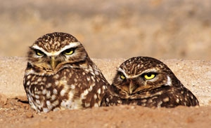 Species Spotlight - Burrowing Owl